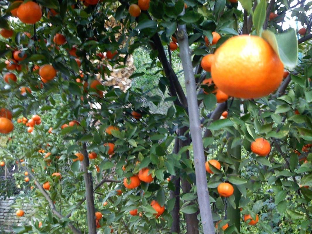 Closeup of Tangelo tree