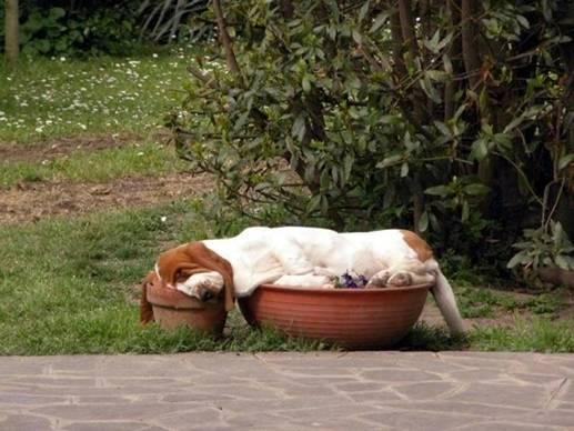 Dog pic Beagle