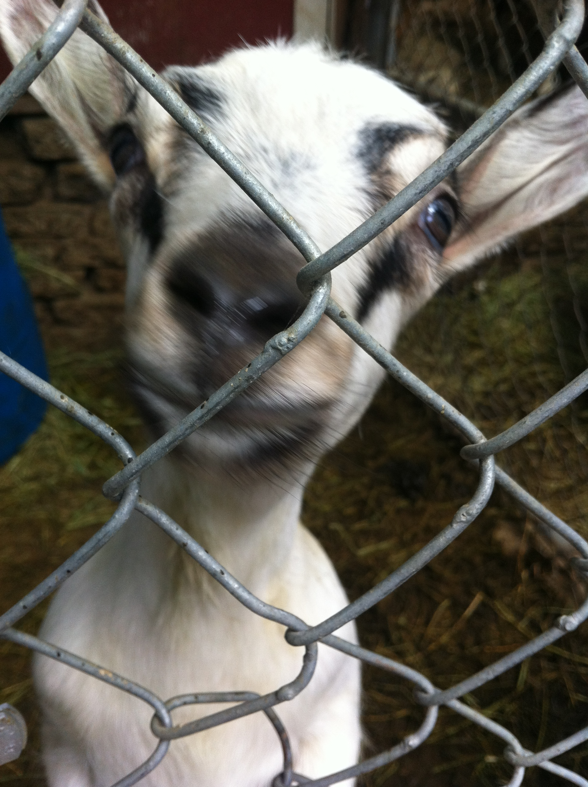 May 2012 Cooking Tilapia goats 032