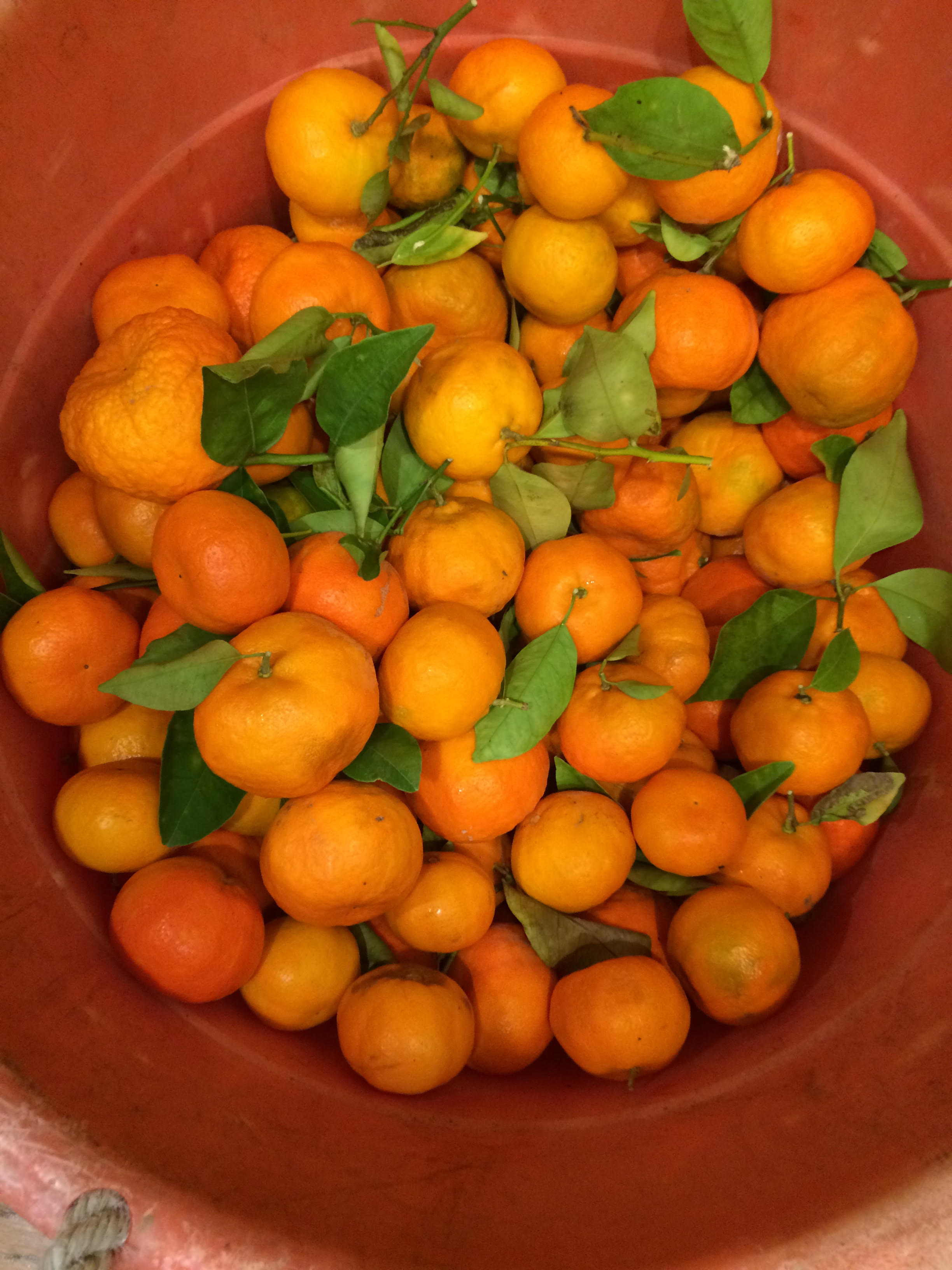 Tangerines just picked 2015