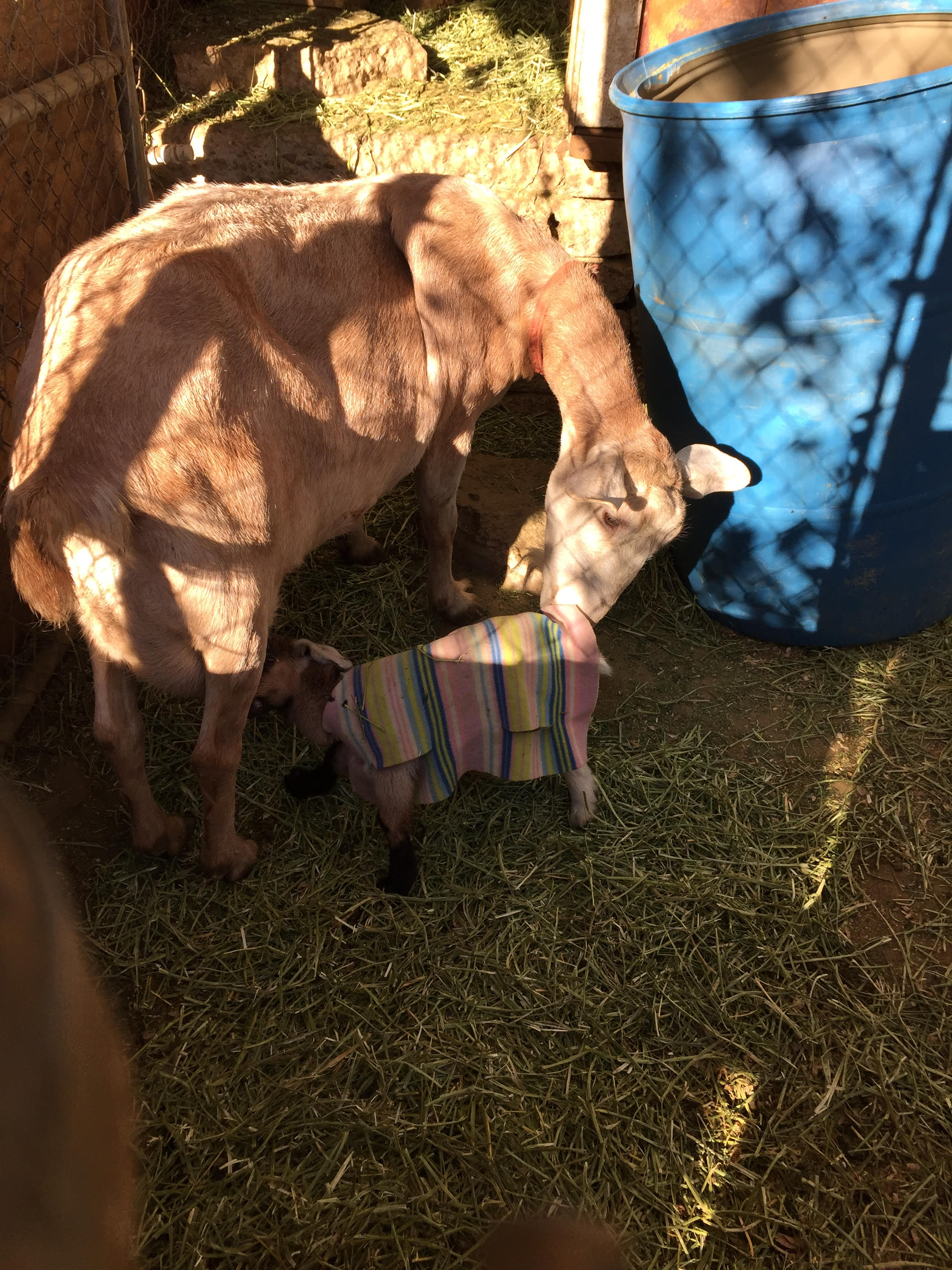 Goat kid in blanket Feb 2016