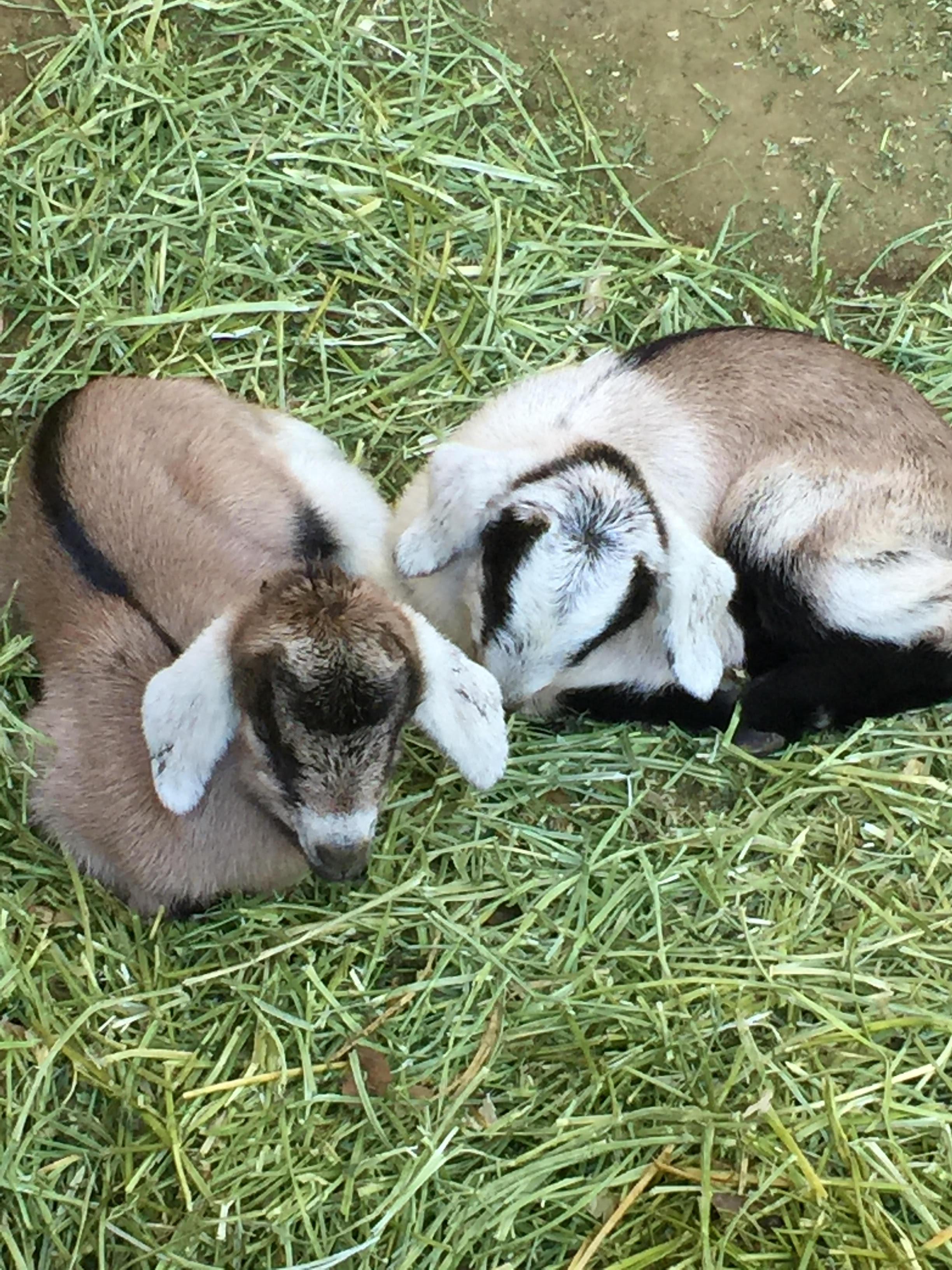 Two new born goats - Julias kids Feb 2016
